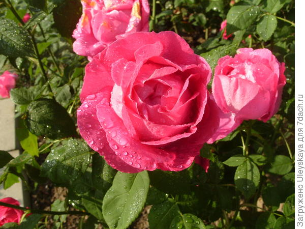 Роза сорт Ulrich Brunner