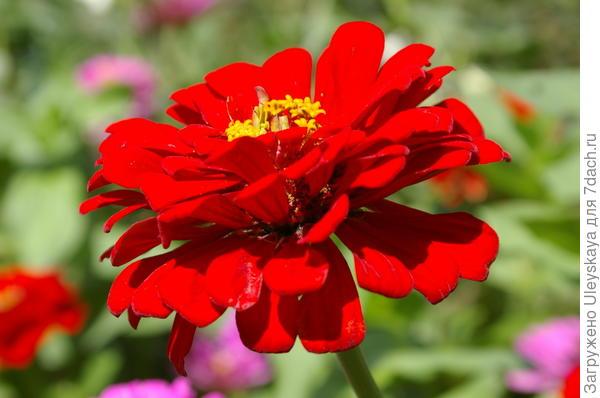 Цветет цинния
