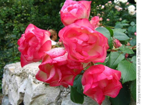 Роза сорт Детство