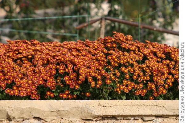 Цветут мелкоцветковые хризантемы, фото Антона Папкова