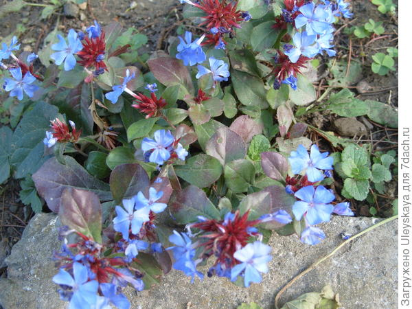 Цветет цератостигма плюмбаголистная в сентябре
