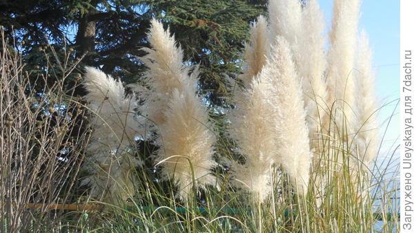Пампасская трава 16 декабря 2014 года