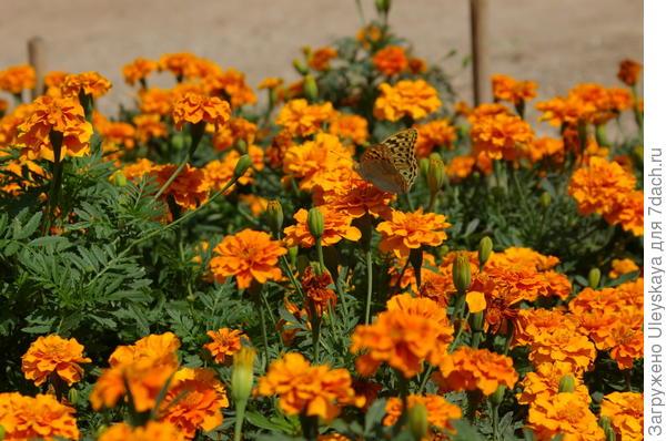 Цветут бархатцы отклоненные