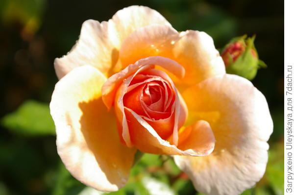 Цветет полуплетистая роза сорт Abraham Darby, сегодня 11 сентября
