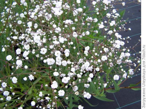 Гипсофила метельчатая сорт Perfekta, фото с сайта www.perryhillnurseries.co.uk