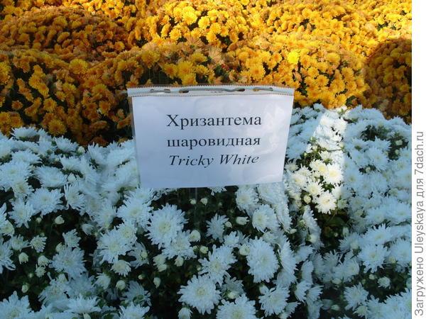 Хризантема шаровидная или мультифлора