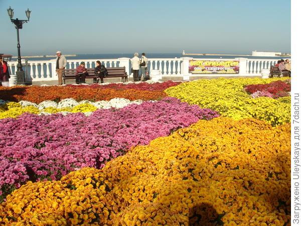 Хризантема мультифлора на балу хризантем в Севастополе