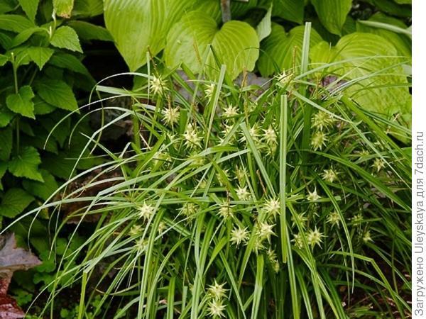 Осока Грэя, фото с сайта www.flowersweb.info