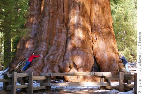 Секвойдендрон гигантский Генерал Шерман в Гигантском лесу в национальном парке Секвойя в Калифорнии, фото с сайта www.liveinternet.ru