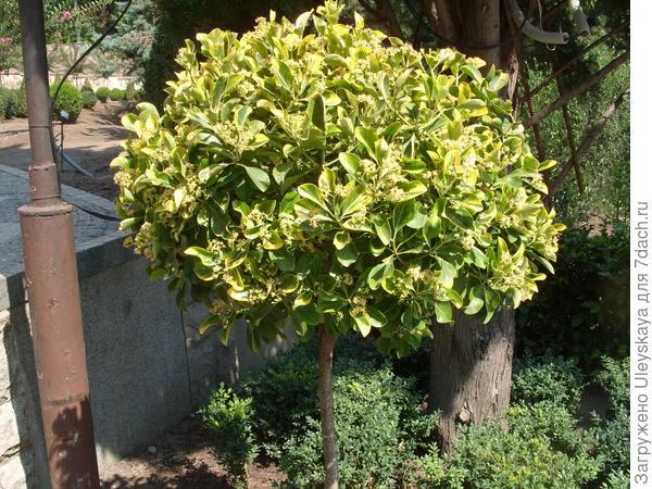 Штамбовые деревца вечнозеленых бересклетов