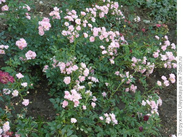 Миниатюрная роза сорт Fresh Pink