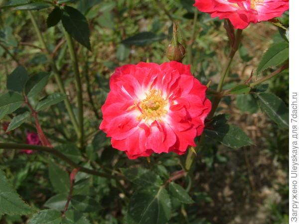 Миниатюрная роза сорт Maidy