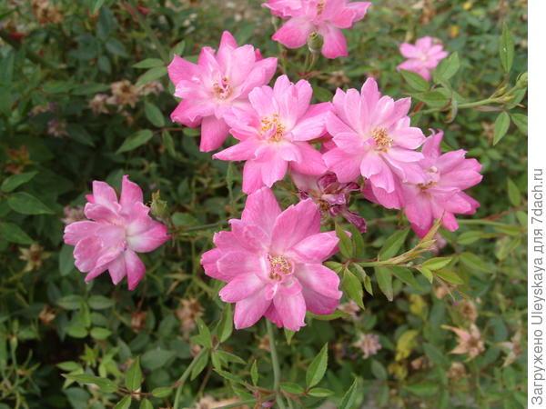 Роза миниатюрная сорт Rouletii