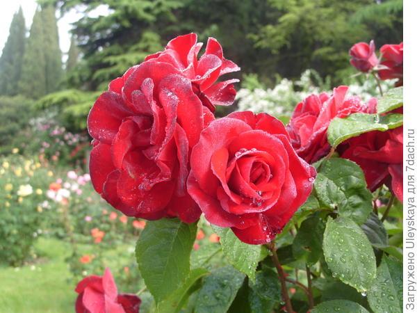 Штамбовая роза из группы флорибунда сорт Pussta