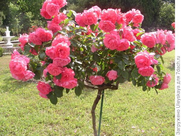 Штамбовая роза сорт Rosarium Uetersen – мечта дачника