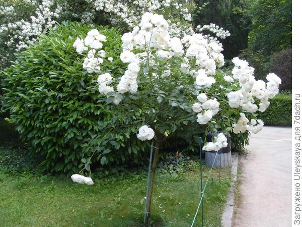 Штамбовая роза из группы почвопокровных сорт Ахтиар
