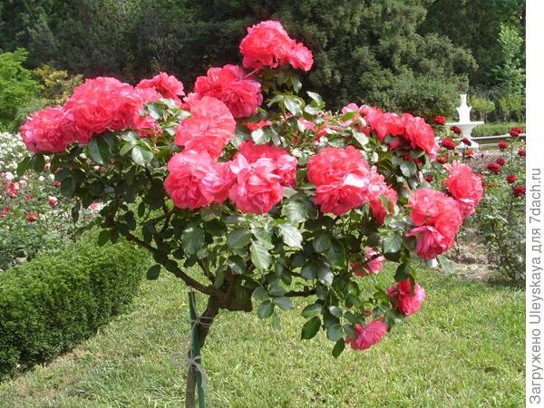 Штамбовая плетистая роза сорт Rosarium Uetersen