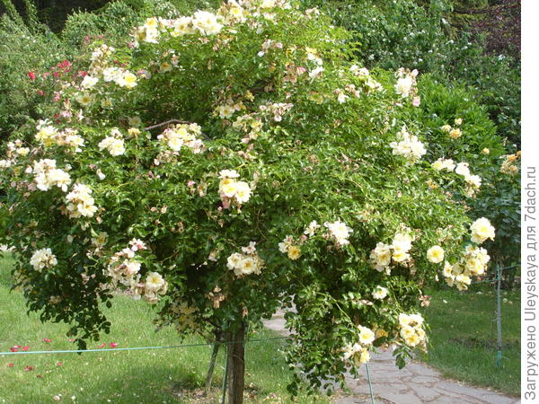 Штамбовая роза – солитер