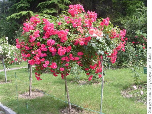 Роскошь цветения штамбовой розы
