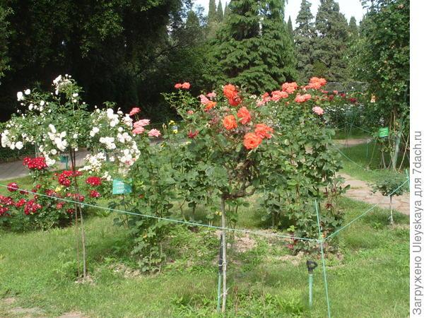 Штамбовые розы в розарии