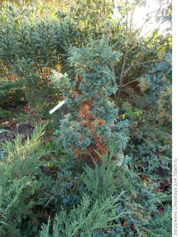 Кипарисовик горохоплодный Squarrosa