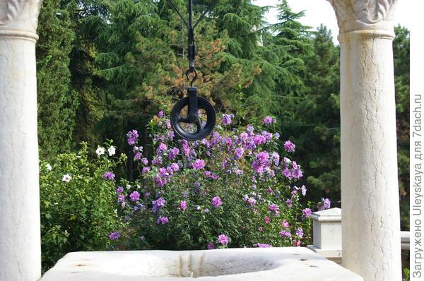 Цветут гибискусы сирийские