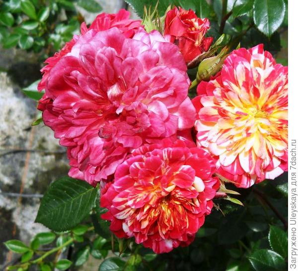 Роза миниатюрная сорт Bigoudi, фото сайта www.plaisir-jardin.com