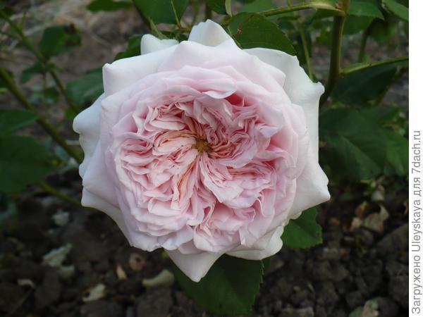 Плетистая роза сорт Claire Rose