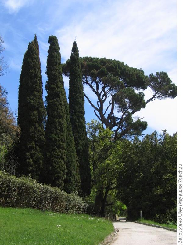 Кипарисы вечнозеленые Пирамидальные в Алупкинском парке, Крым
