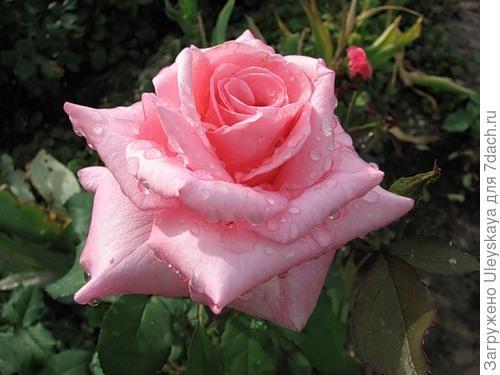 Роза сорт Эфелева Башня, фото сайта fotki.yandex.ru