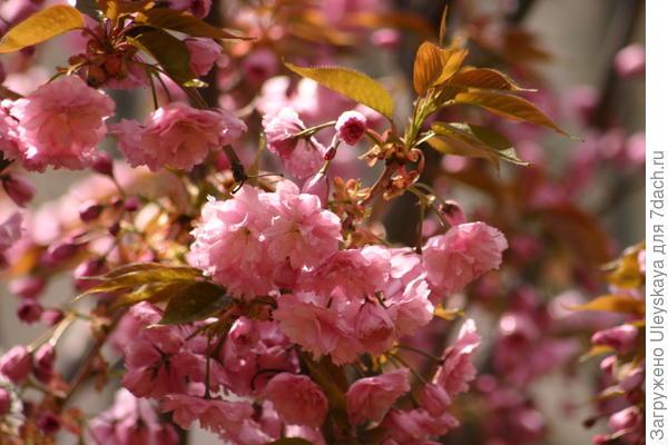 Сакура в цветении