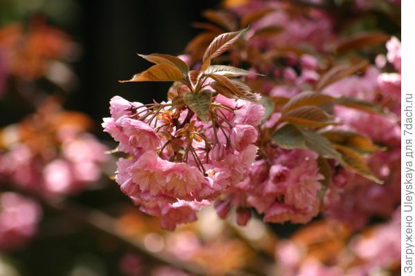 Цветет сакура