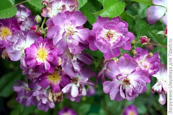 Плестистая роза сорт Blue Rambler, фото сайта sunnysad.ru