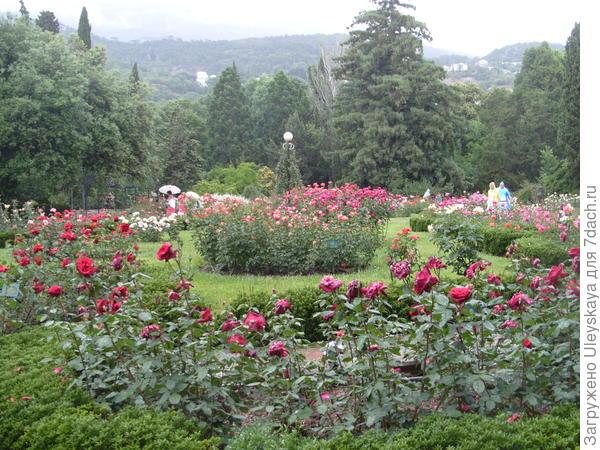 Розы в обрамлении бордюра из бересклета японского мелколистного