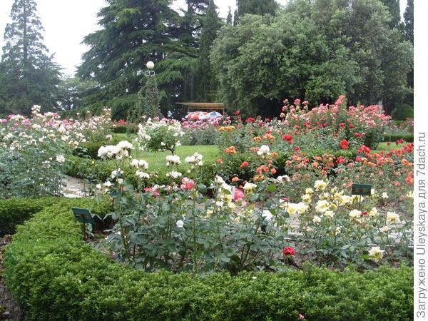 Бордюр из бересклета японского мелколистного обрамляет розы