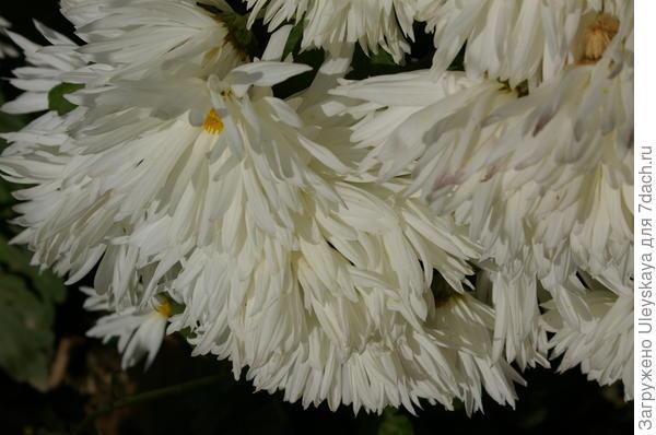 Хризантема садовая сорт Белянка