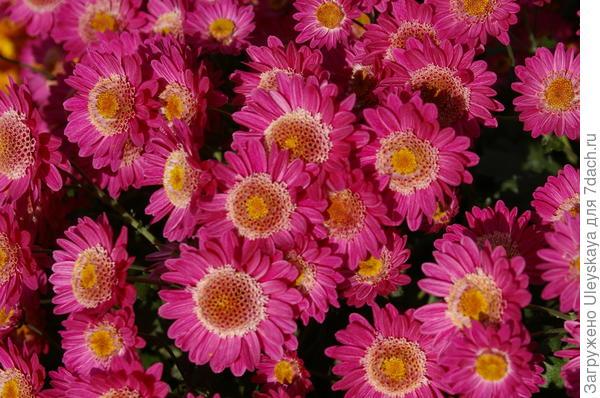 Хризантема садовая сорт Дусинея