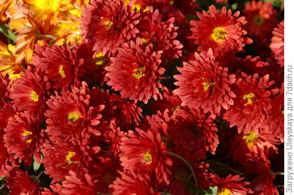 Хризантема садовая сорт Горняк