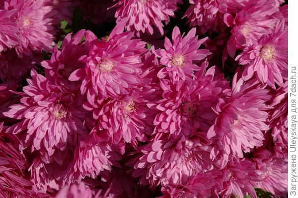 Хризантема садовая сорт Mount Lavin