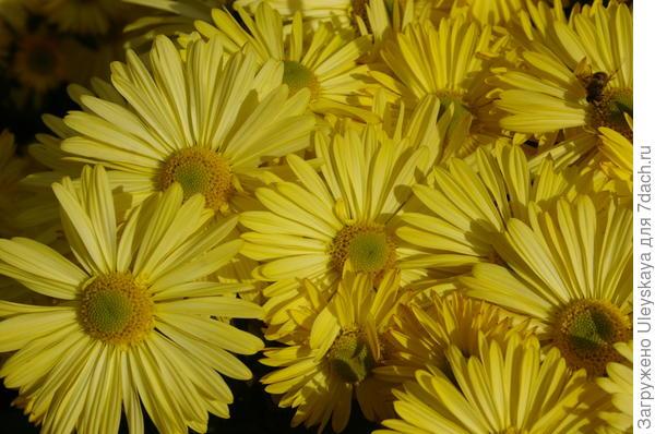 Хризантема садовая сорт Золотинка