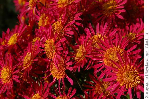 Хризантема садовая сорт Крымская Весна