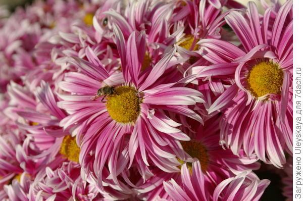 Хризантема садовая сорт Эмили
