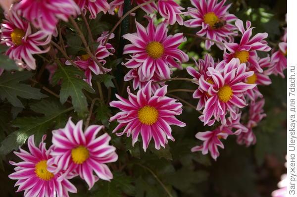 Хризантема садовая сорт Памяти Бабкиной