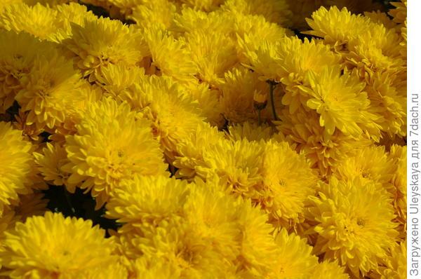 Хризантема садовая сорт Mount Carmen