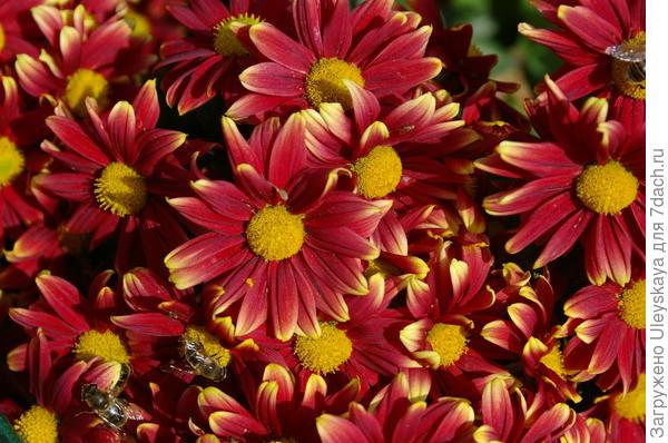 Хризантема садовая сорт Долли
