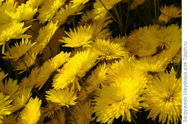 Хризантема садовая сорт Алинка