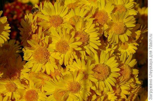 Хризантема садовая сорт Золотая Москва