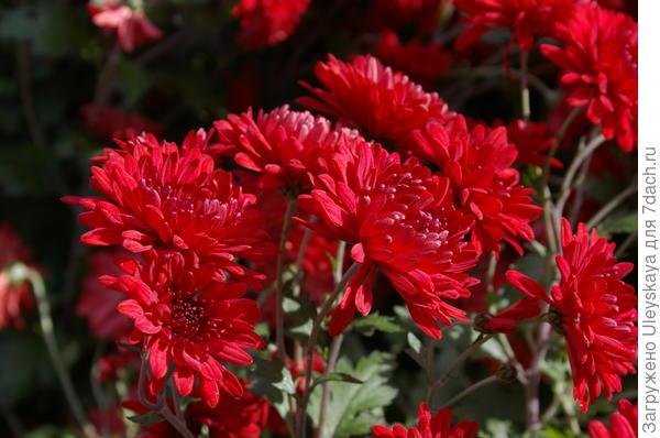 Хризантема садовая сорт Mount Kenya