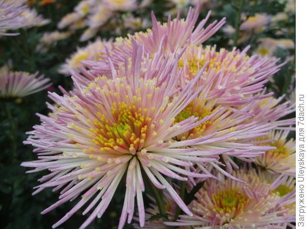 Хризантема садовая сорт Annecy White