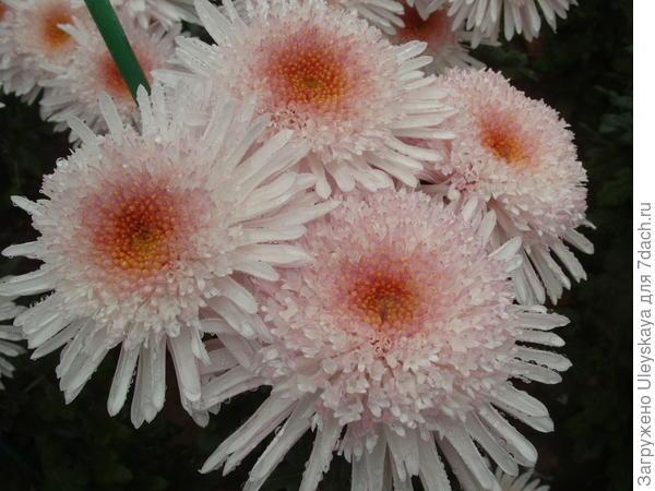 Хризантема садовая сорт Eleanor White